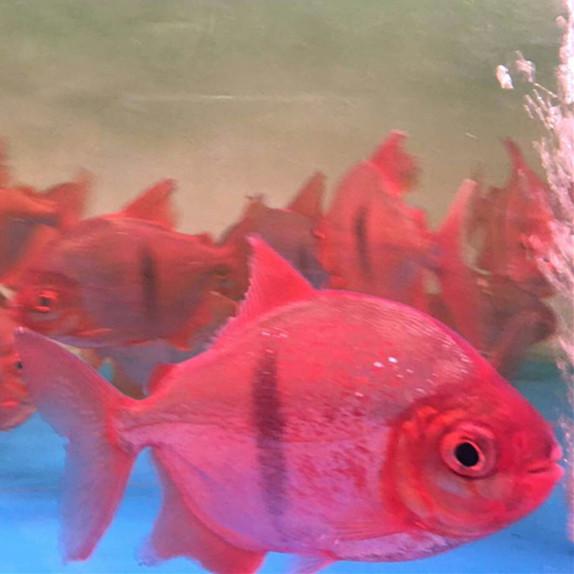 丹阳玫瑰银版鱼 丹阳水族新品 丹阳龙鱼第3张