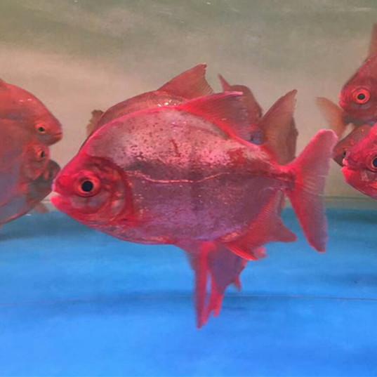 丹阳玫瑰银版鱼