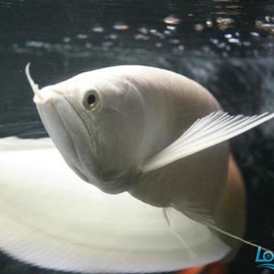 丹阳雪龙鱼 混养鱼(丹阳龙鱼配鱼) 丹阳龙鱼第1张
